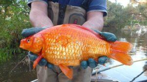 يجب عليك أبدا اطلاق سراح السمكة الذهبية في البرية 300x169 - لماذا يجب عليك أبدا اطلاق سراح السمكة الذهبية في البرية