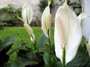 النباتات التي تقوم بتصفية الهواء الذي يجب أن يكون لديك في منزلك 6 300x225 - قائمة النباتات التي تقوم بتصفية الهواء الذي يجب أن يكون لديك في منزلك