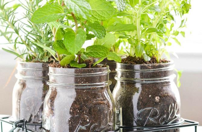 زراعة النباتات في جرات ميسون - كيفية زراعة النباتات في جرات ميسون