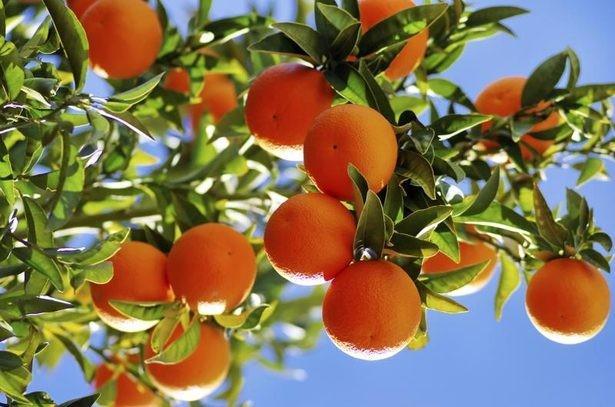 0121091fd60c18a6 - Cultiver vos propres mandarines à la maison