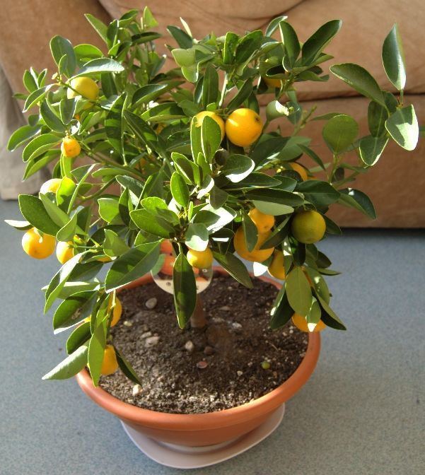20170115g - Here's how to grow a grapefruit from a grapefruit seed