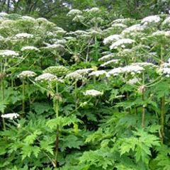 20886 43635 image - La berce du Caucase, une plante très toxique