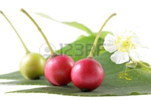 33242580 cerise jamaïcain muntingia calabura famille muntingiaceae centrale de la thaïlande - Les avantages santé de la cerise de la Jamaïque