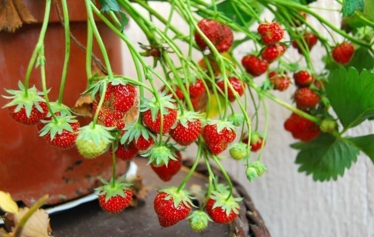Pousser des fraises bio toute l'année à l'intérieur - Pousser des fraises bio toute l'année à l'intérieur