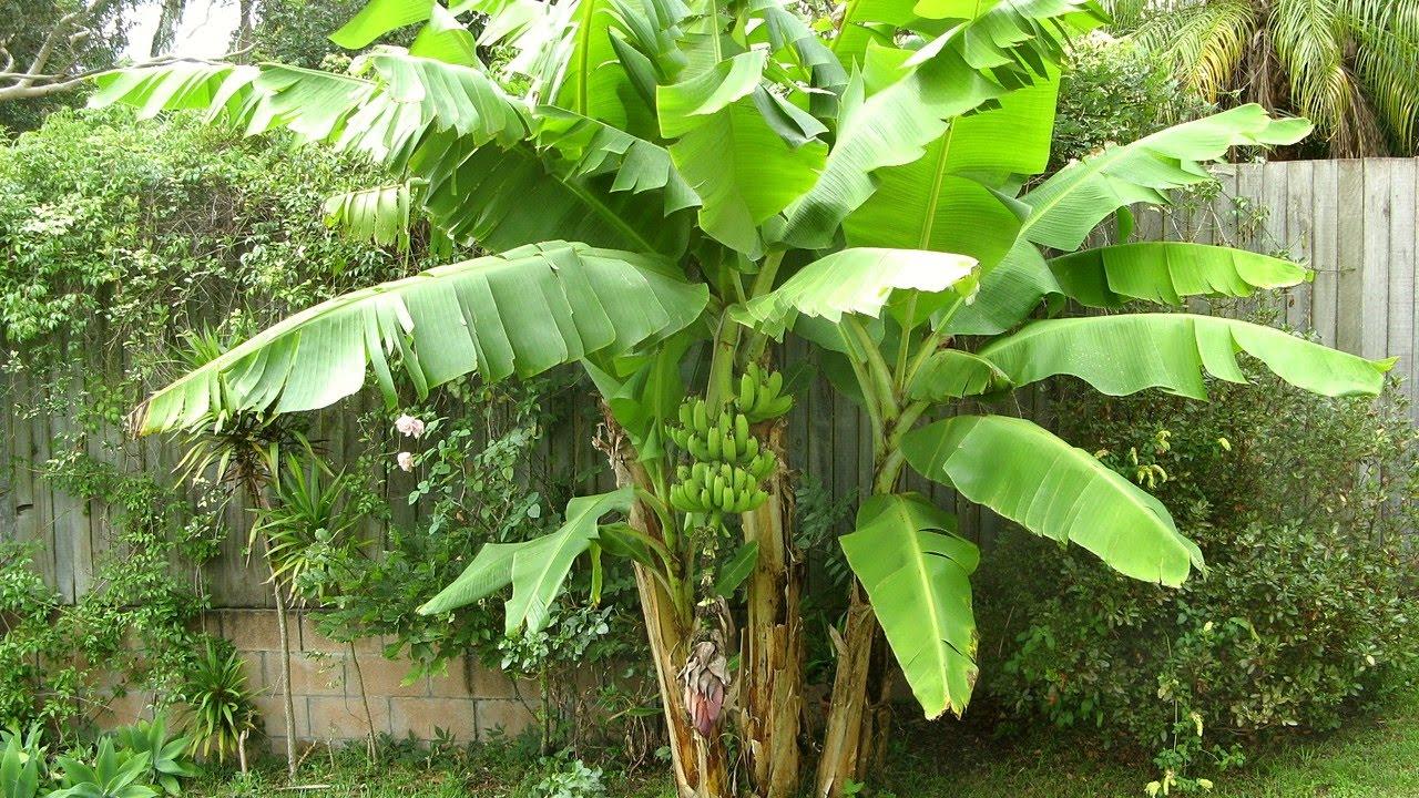 Voici comment faire pousser un bananier à partir d'une graine - Here's how to grow a banana tree from a seed