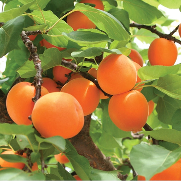 abricotier 1 - Here's how to grow an apricot tree from a kernel