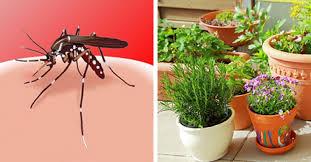 download 1 4 - ماهي النباتات التي اذا زراعتها تبعد البعوض (الذباب)