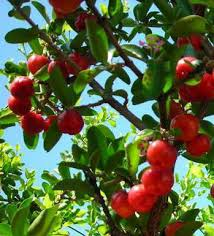 download 14 - The health benefits of the cherry from Jamaica