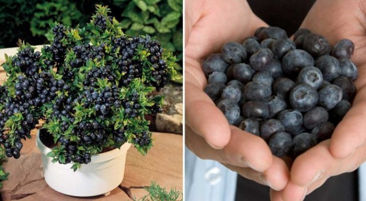 ef4633fe4bdf930d463392b7964d4345 - Grow your own blueberries at home