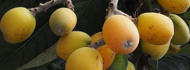 fruits du nefleir du japon 1 - Voici comment faire pousser un néflier à partir d'une graine