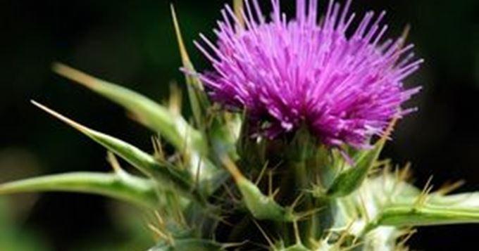 i42397 10 plantes pour faciliter la digestion - Le Chardon-Marie, meilleur traitement naturel pour les problèmes de foie