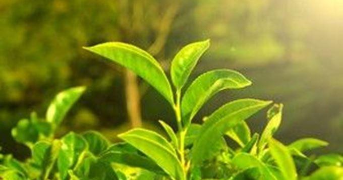 i80062 5 plantes pour lutter contre l acne - Thé de feuilles d'olivier, un vieux remède qui guérit tout