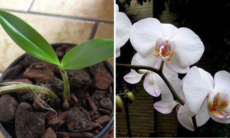 main resized 750x450 58d29e8a94e32 177557 - Here's how to make an orchid bloom again