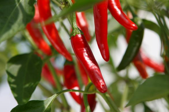 piment fortdecayenne - Grow chillies in your garden