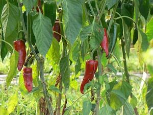piment semis culture recolte - الاسباب التي تفيد ان ينمو الفلفل في الحديقة الخاصة بك