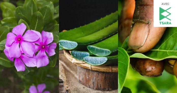 plantes qui soignent madagascar une v2018 696x364 - 7 meilleures plantes de Madagascar pour traiter les maladies et troubles de santé