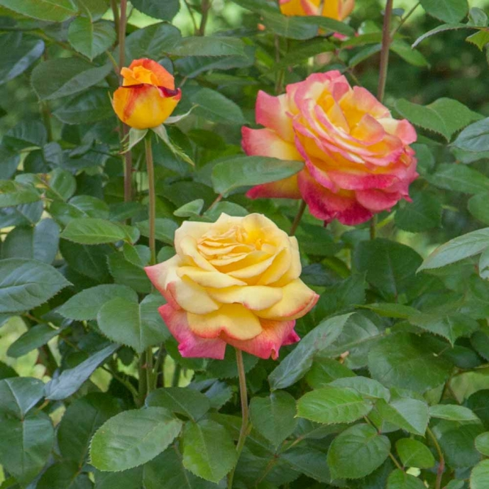 resized 1058 2912 2408 2534d rosier pullman orient express baipeace mi t1000 - Grow a rose in pot or vat for balcony and terrace