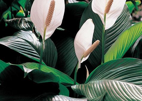 11 Plantes dintérieur à bannir de chez vous 477x340 - Indoor plants to avoid because of their toxicity