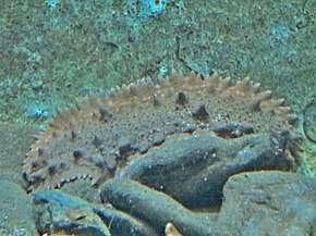 Parastichopus regalis - Anticancer properties of sea cucumber