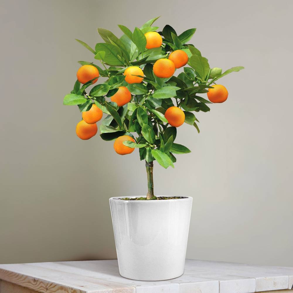 Voici comment faire pousser un oranger à partir d'une graine - Voici comment faire pousser un oranger à partir d'une graine