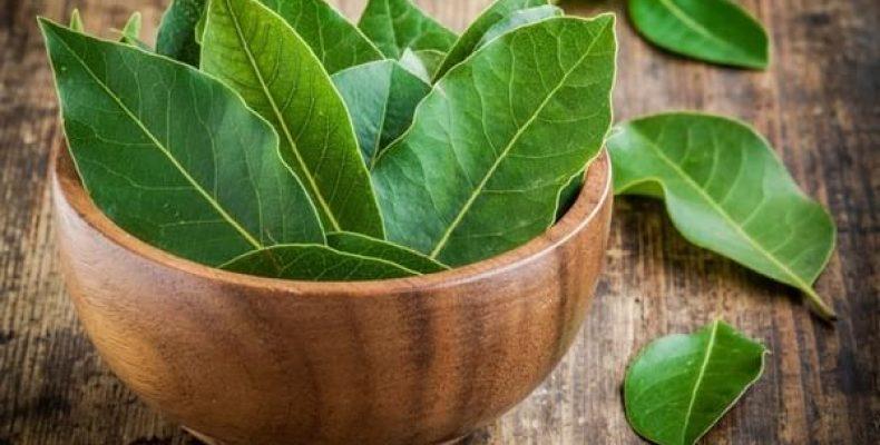 bfi thumb wsi imageoptim novaya papka 2 00001 35dcpka5wxjp22wsbtq422 - Les propriétés thérapeutiques des feuilles de laurier