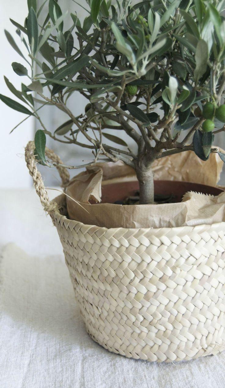 Cultivez vos propres oliviers - ازرع أشجار الزيتون الخاصة بك