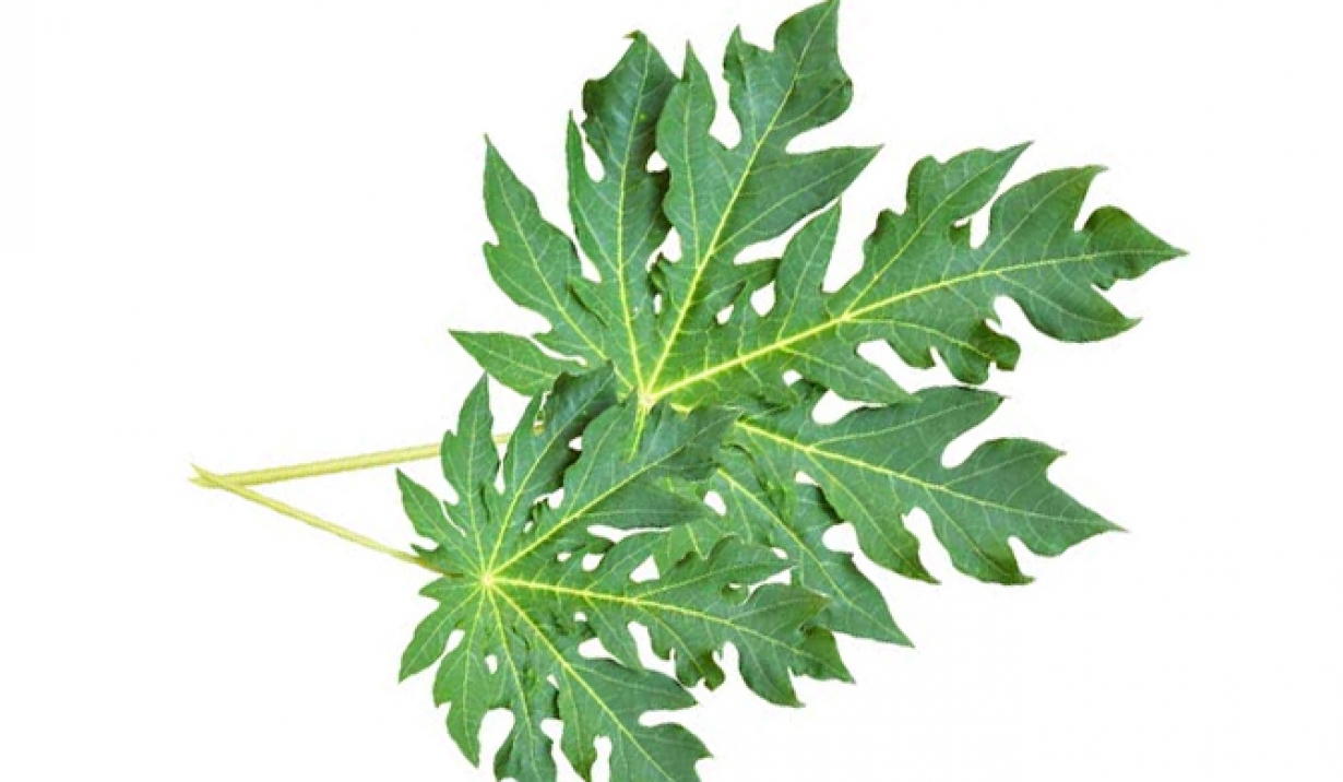 Les feuilles de papaye pour traiter la dengue  - Papaya leaves to treat dengue