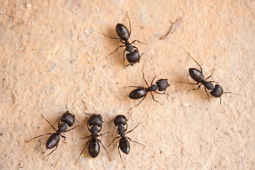 Repousser naturellement les colonies de fourmis en dehors de votre maison - صد مستعمرات النمل بشكل طبيعي خارج منزلك