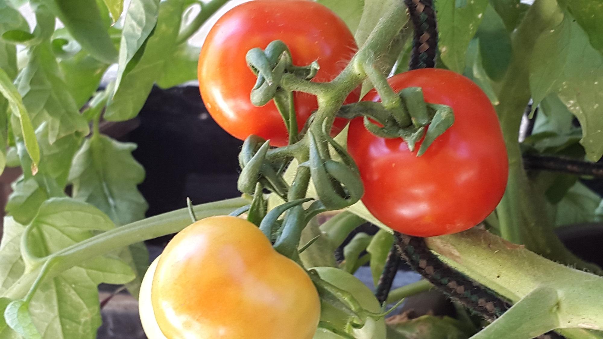 Voici comment vous devez procéder au plantage des tomates  - إليك كيفية زراعة الطماطم في المنزل