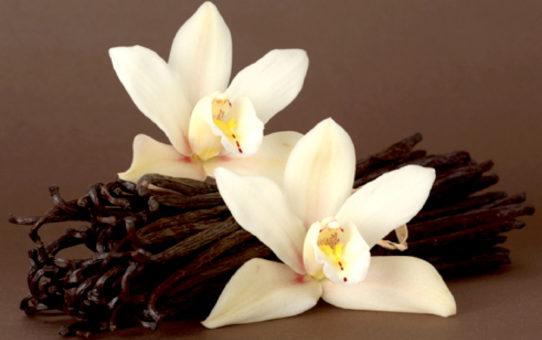 Cultiver la vanille chez soi 542x340 - Cultiver la vanille chez soi