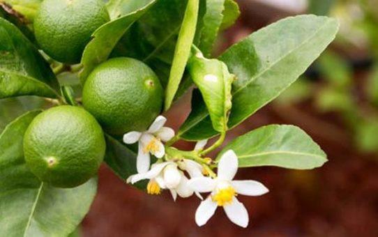 Faire pousser un limettier à partir de pépins de citrons verts 542x340 - Faire pousser un limettier à partir de pépins de citrons verts