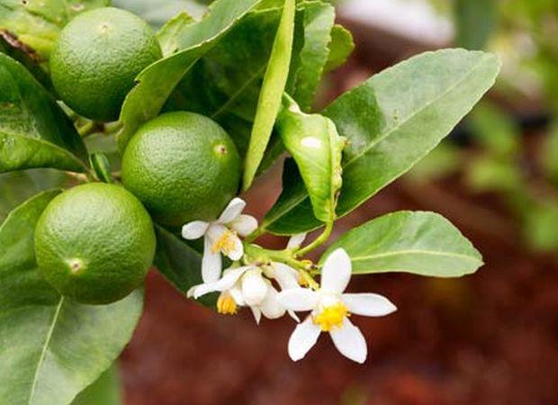 Faire pousser un limettier à partir de pépins de citrons verts - زراعة شجرة الليمون من بذور الليمون