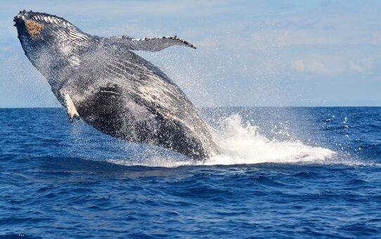 الأحدب يبتلع غطاس الكركند ويبصقه 542x340 - الحوت الأحدب يبتلع غطاس الكركند ويبصقه
